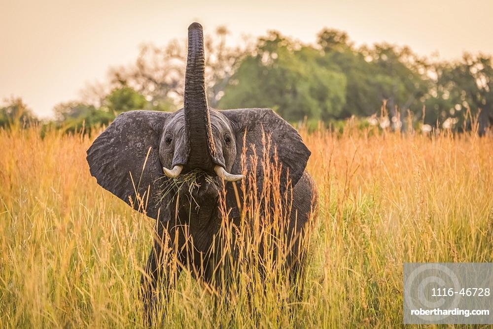 Baby Elephant (Loxodonta Africana) Eating Grass With Trunk Raised, Botswana