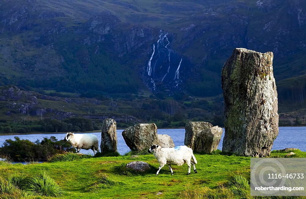 Sheep Walking By Uragh Stone Circle Along The Water's Edge, County Kerry, Ireland