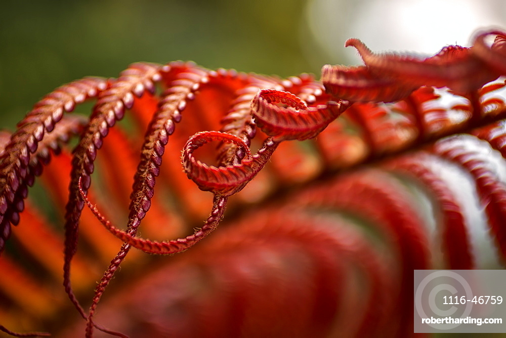 Close Up Of A Crimson Amau Fern, Hawaii, United States Of America