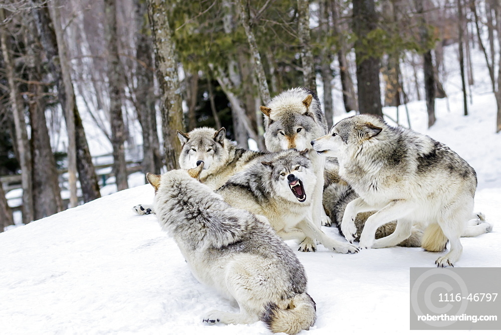 Grey Wolves (Canis Lupus) Demonstrating Hierarchy, Montebello, Quebec, Canada