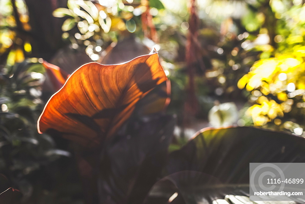 Broad leaf of a plant backlit by sunlight in a garden, Vancouver, British Columbia, Canada