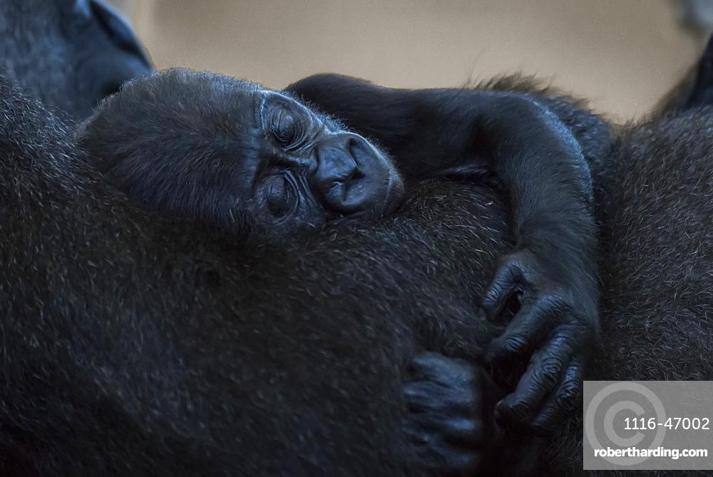 Baby Western Lowland Gorilla (Gorilla Gorilla Gorilla) Asleep In Arms Of Mother, Cabarceno, Cantabria, Spain