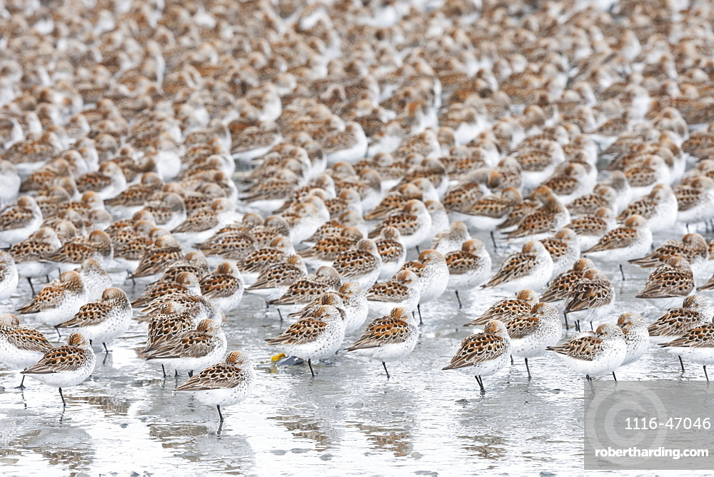 A Large Flock Of Small Birds Standing On One Leg With Spotted Plumage On Their Wings, Cordova, Alaska, United States Of America