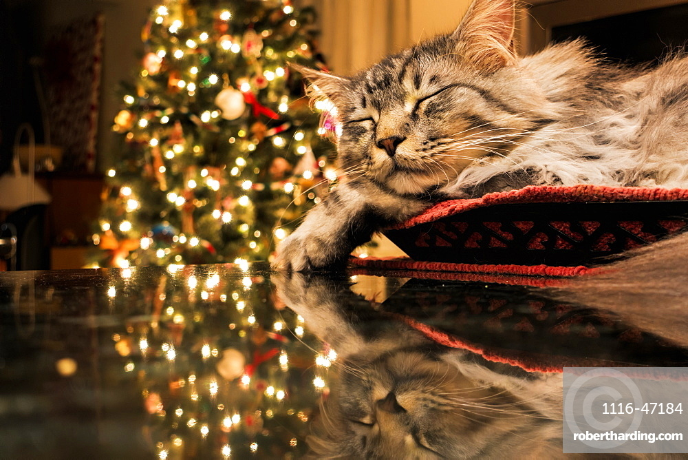 Maine Coon Cat Sleeps In Basket, Reflecting With Christmas Tree Lights On Granite Kitchen Counter, Anchorage, Alaska, United States Of America