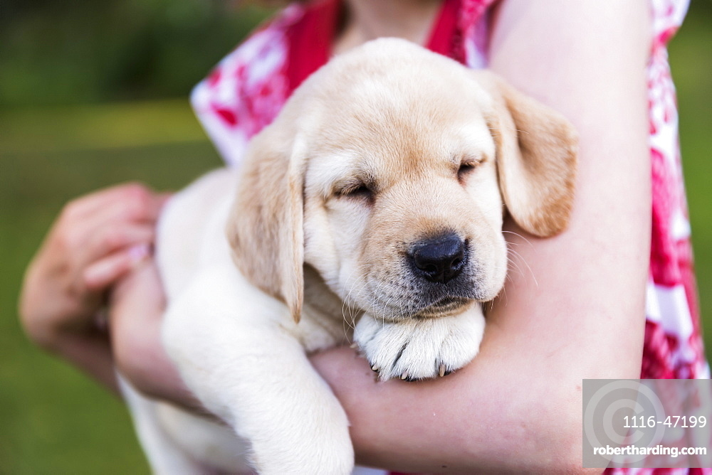 A Young Girl Wearing A Sundress Holds A Labrador Puppy In Her Arms, Anchorage, Alaska, United States Of America