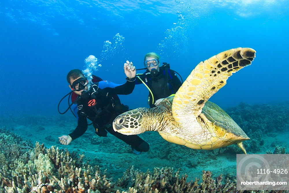 Green Sea Turtle Turtle Cleaning Station Near Makena State Park Maui Hawaii Usa