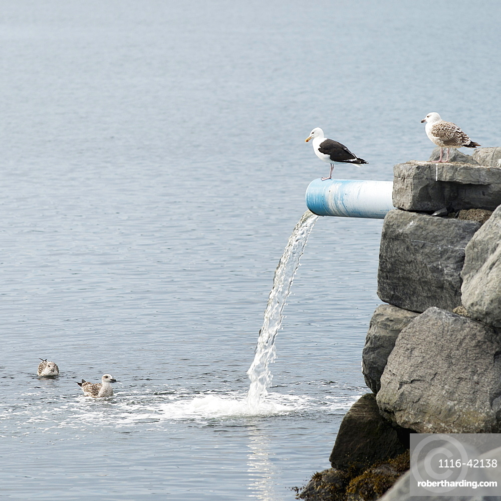 Birds Stand And Swim Around The Water Pouring From A Pipe On The Rock Wall At Norris Point, Newfoundland And Labrador, Canada