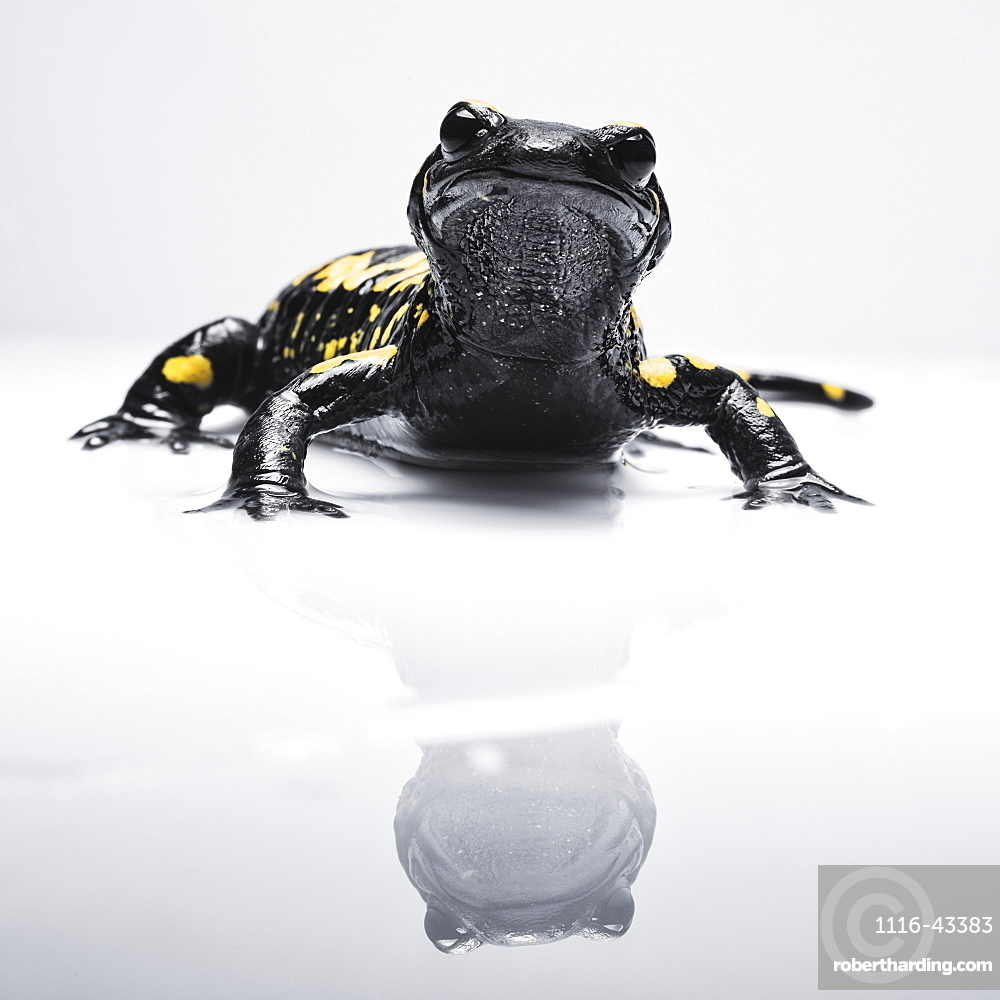 Salamander (Caudata) With It's Reflection On A White Surface, Tarifa, Cadiz, Andalusia, Spain
