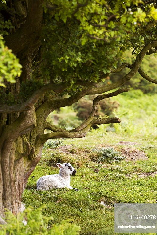 Sheep Lying Under Tree