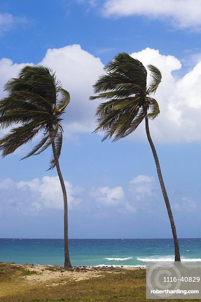 Palm Trees On Beach, Carribbean, Cuba