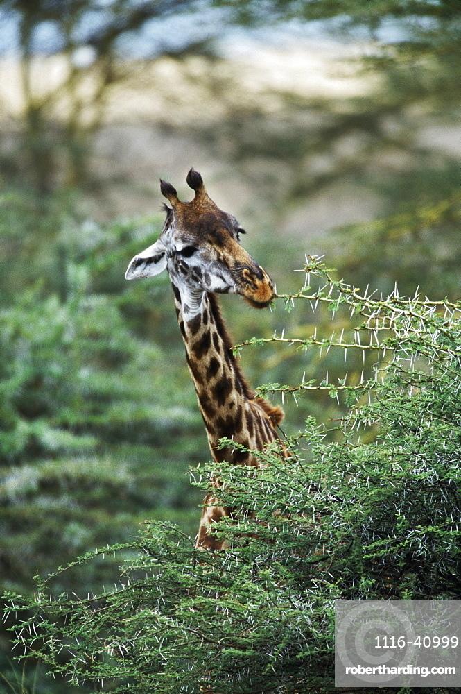 Giraffe Feeding On Acacia Tree, Africa