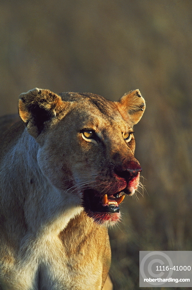 Lioness With Bloody Face Following Killing Of Prey, Africa