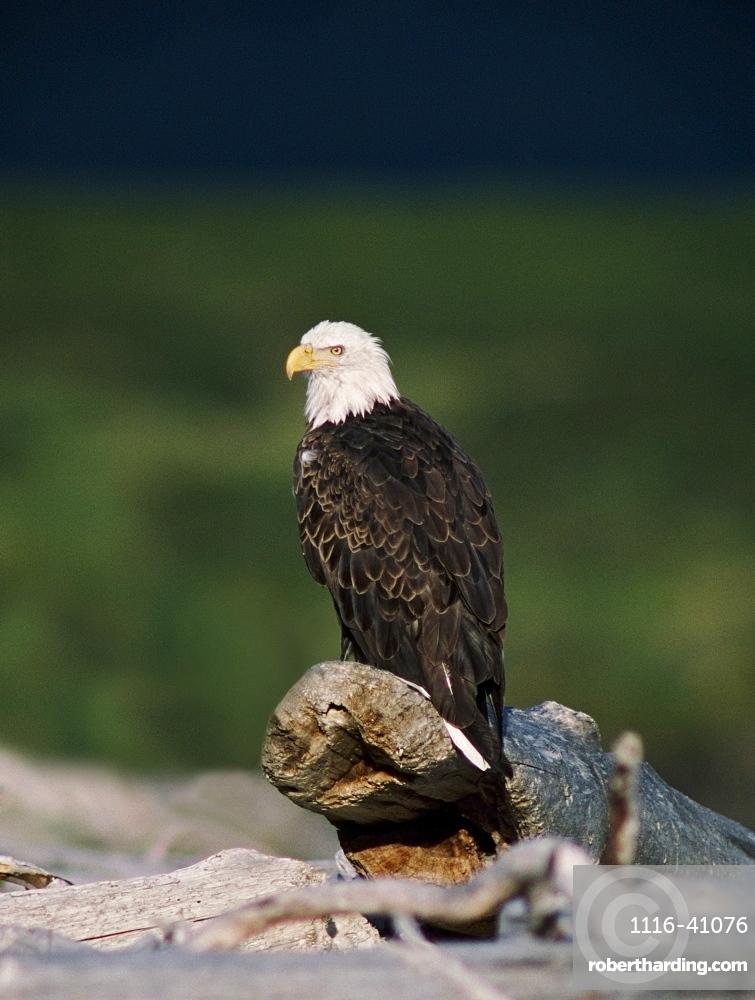Bald Eagle (Haliaeetus Leucocephalus) Perched On Driftwood, Alaska, Usa