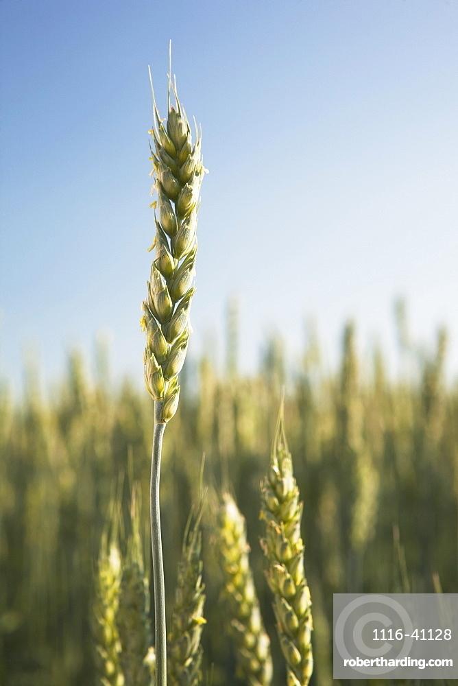 Alberta, Canada, Green Wheat Head In A Field