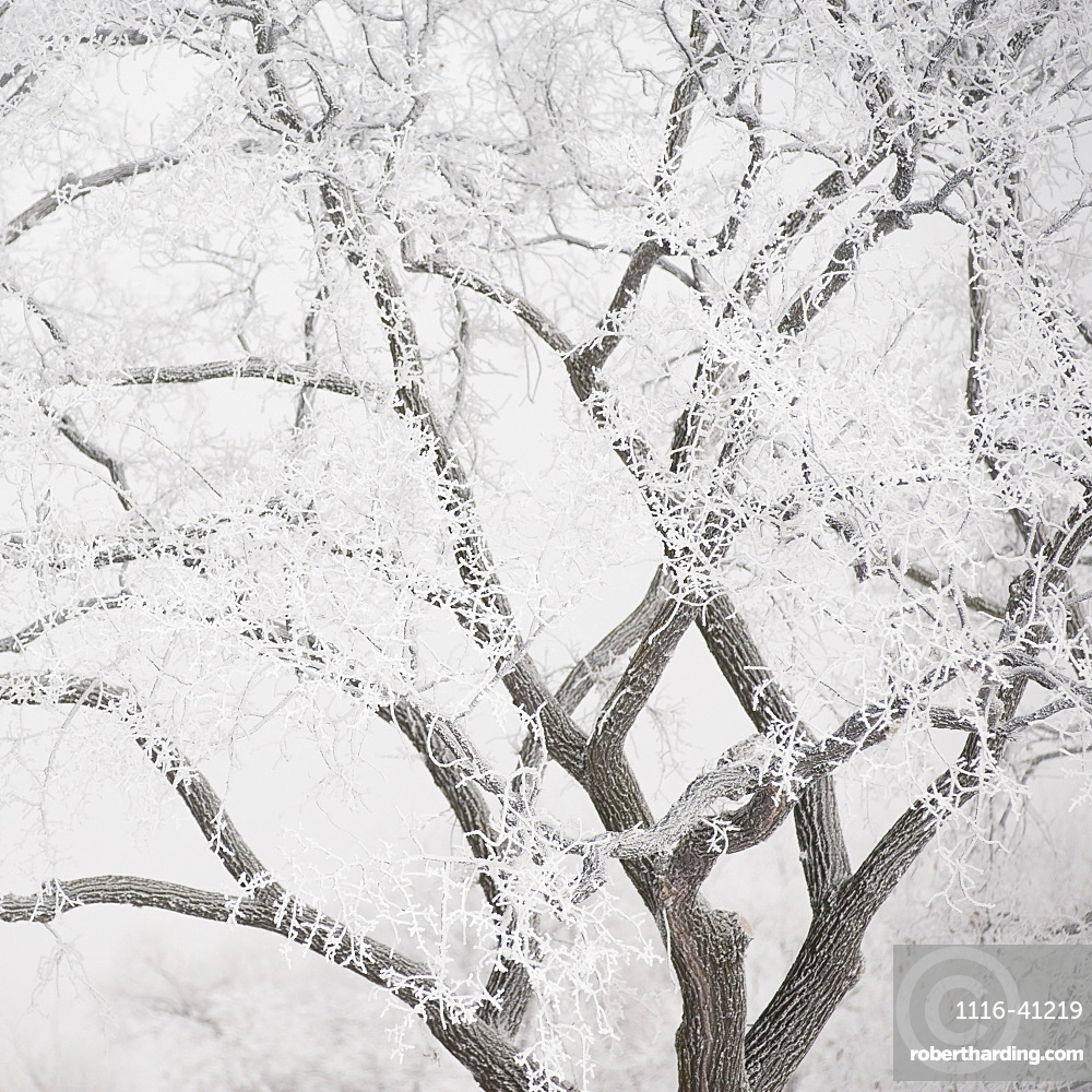 Winnipeg, Manitoba, Canada, Tree Branches Covered In Snow