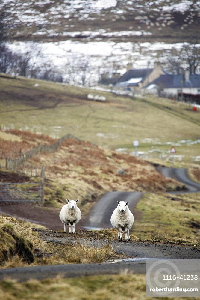 Scottish Borders, Scotland, Two Sheep On The Road