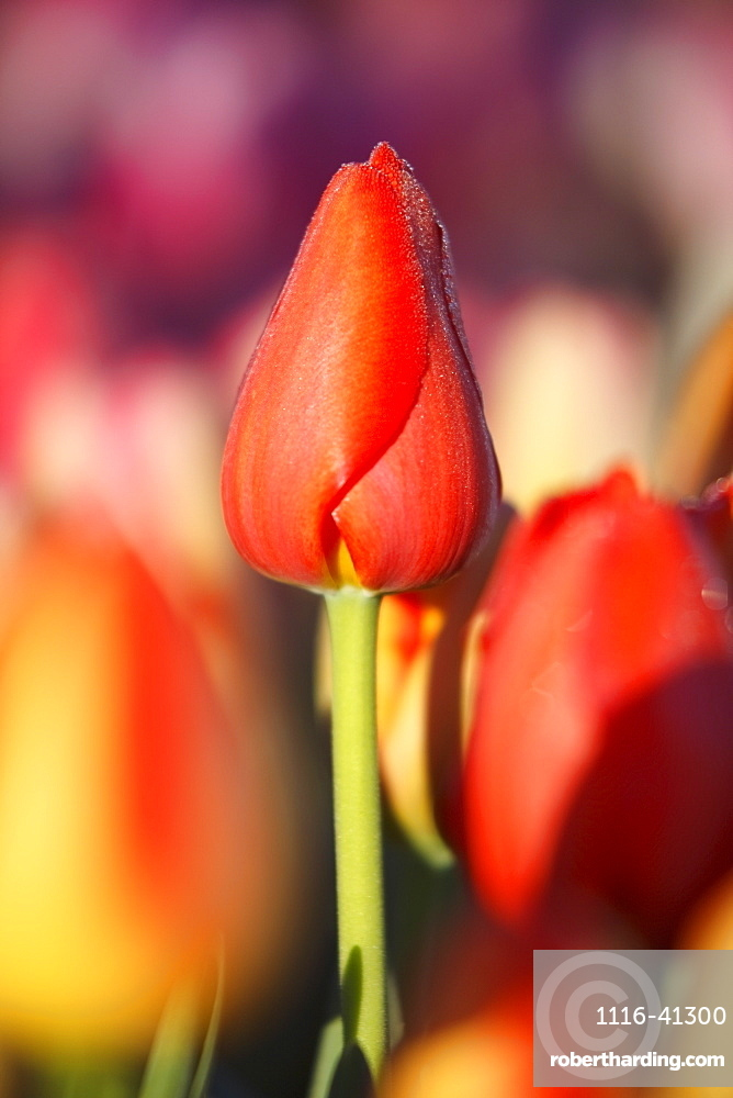 Woodburn, Oregon, United States Of America, Close Up Of A Closed Tulip