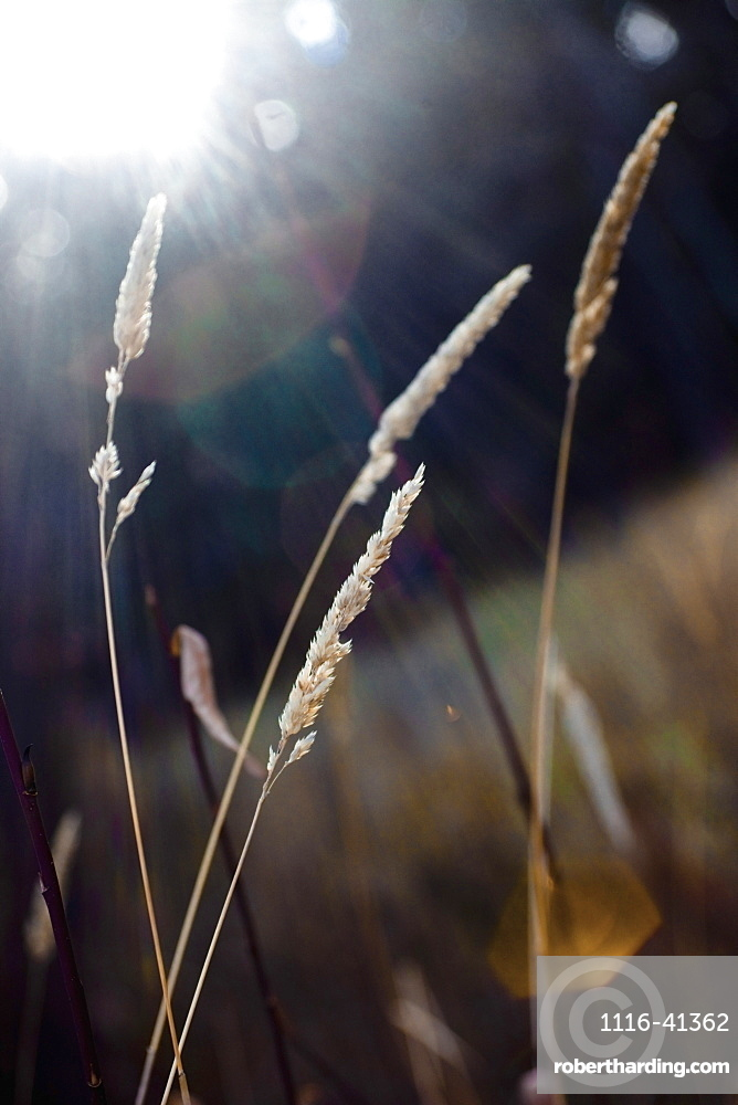 Spruce Grove, Alberta, Canada, Wheat Grass In The Sunlight