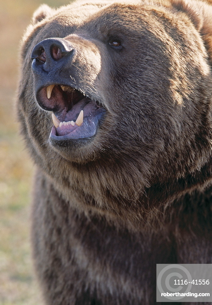 Captive Kodiak Grizzly Bear