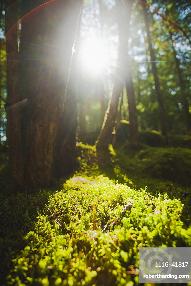 Sunlight streaming through cedar trees in a mossy forest, British columbia, canada