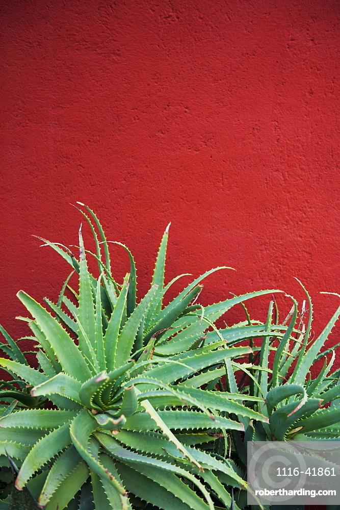 Cactus against a red wall, San miguel de allende guanajuato mexico