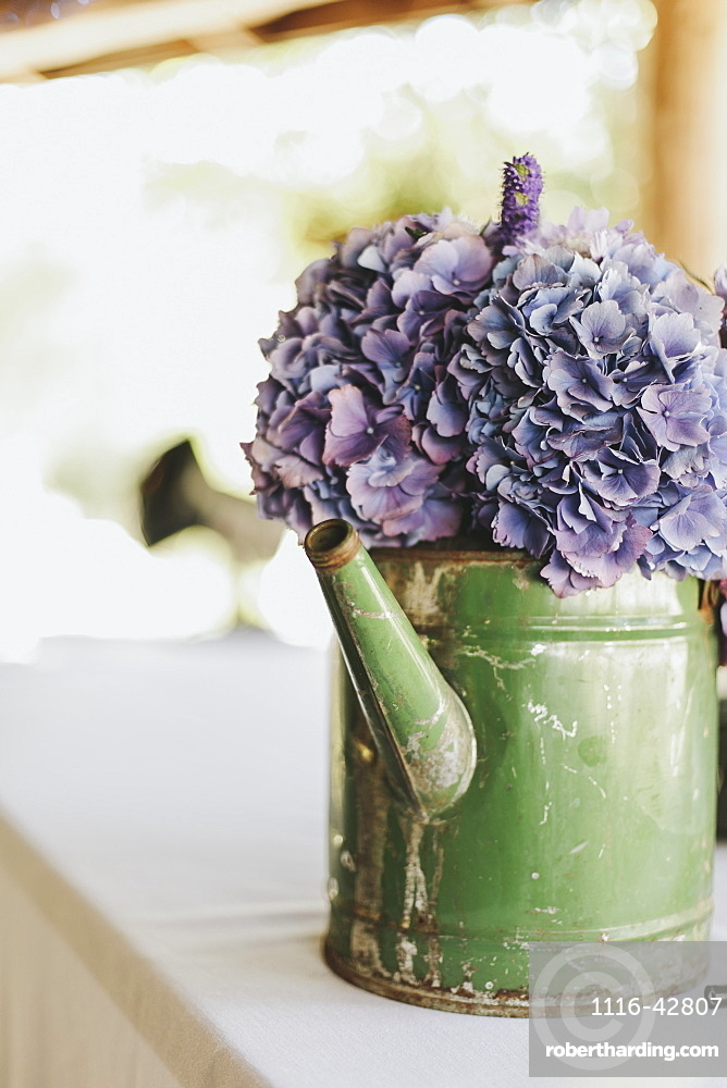 Purple flowers in an old watering can, Pemberton british columbia canada