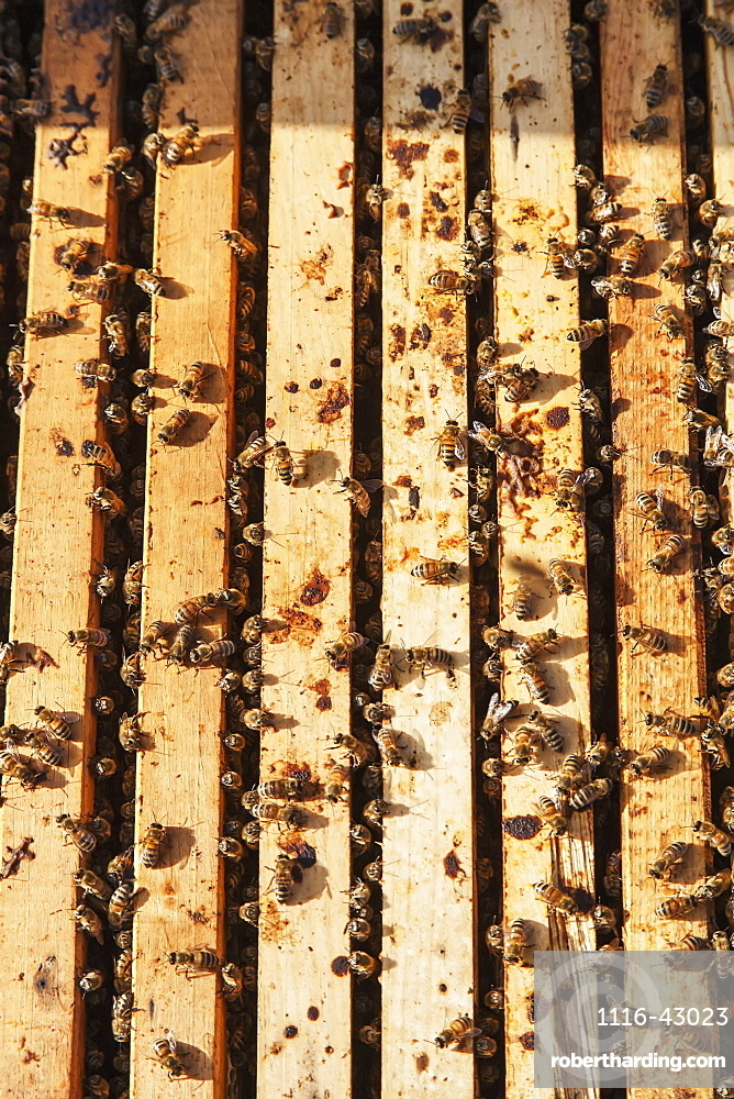 Busy Honey Bees In A Langstroth Hive Box, Toronto, Ontario, Canada
