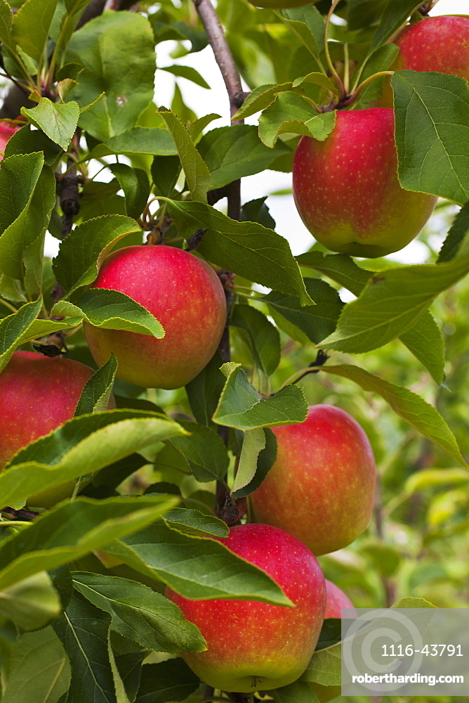 Apples Growing On A Tree, Rougemont, Quebec, Canada