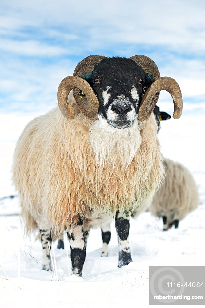 Dalesbred Ram On Moorland In Snow, North Yorkshire, England