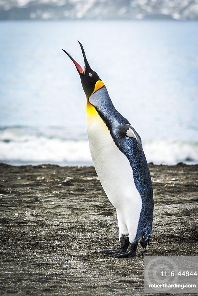 King Penguin (Aptenodytes Patagonicus) Squawking On Beach Beside Water, Antarctica