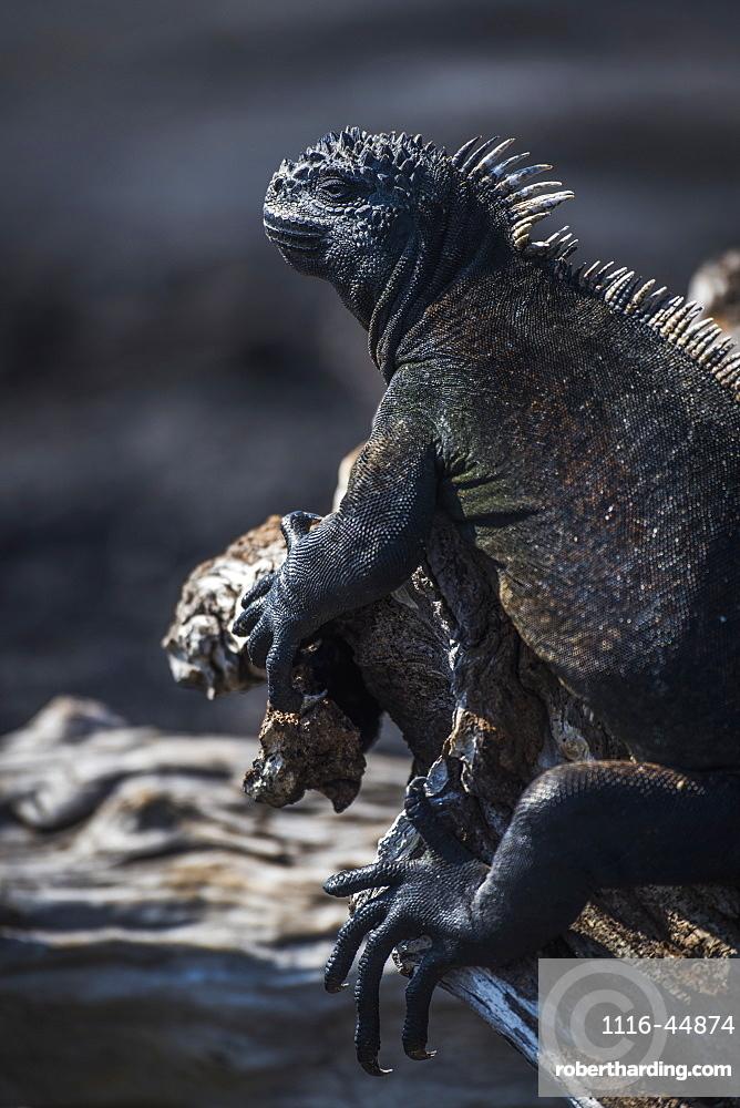 Marine Iguana (Amblyrhynchus Cristatus) Perched On A Dead Wooden Log, Galapagos Islands, Ecuador