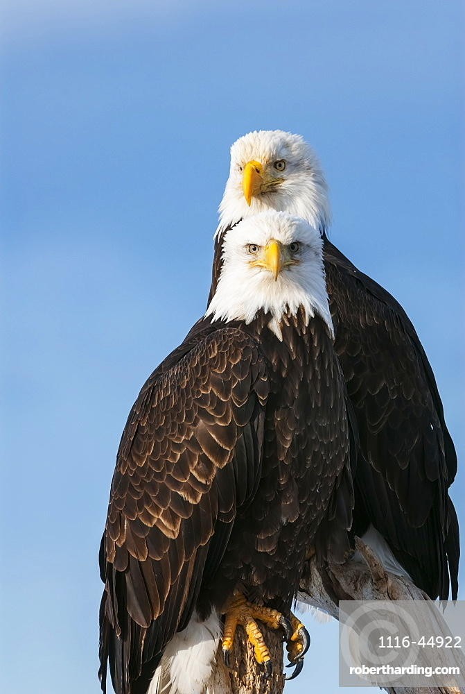 Two Bald Eagles (Haliaeetus Leucocephalus) Perched On Dead Tree Branches Looking Out, United States Of America