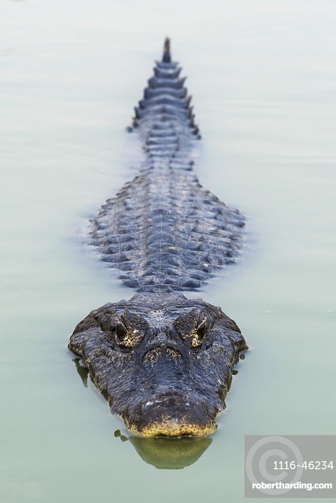 Yacare Caiman (Caiman Yacare) Swimming In Calm Green Water, Mato Grosso Do Sul, Brazil