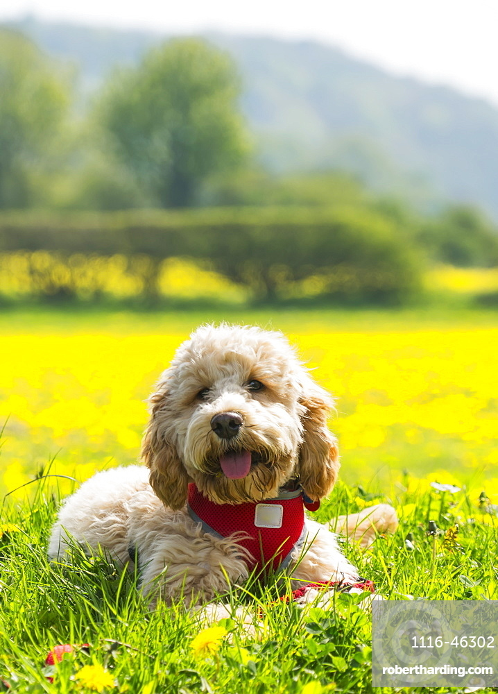 A Blond Cockapoo With A Red Collar Sits On Lush Grass With Wildflowers, Durham, England
