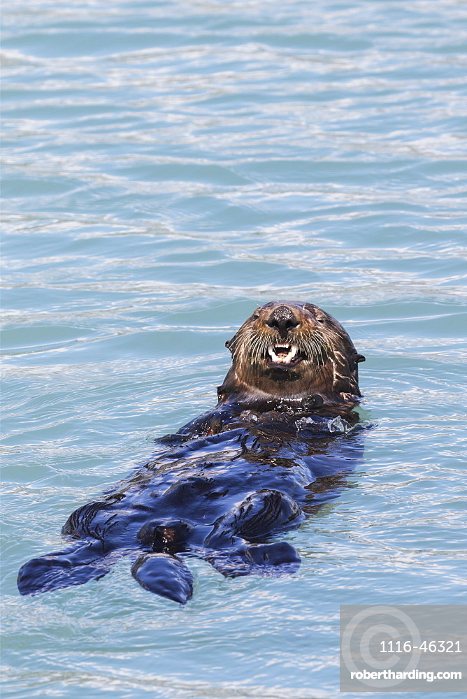 Sea Otter (Enhydra Lutris) Swims In The Small Boat Harbor, Seward, Alaska, United States Of America