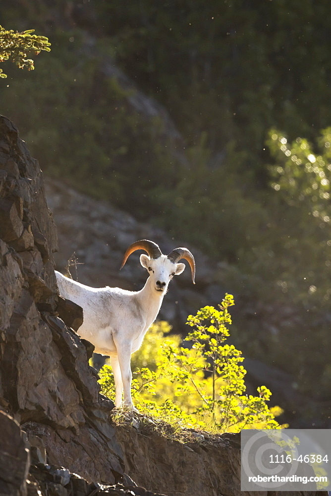 A Young Dall Ram (Ovis Dalli) Looks At Camera From The Rocks In The Windy Point Area Near Mile 106 Of The Seward Highway, South-Central Alaska, Alaska, United States Of America