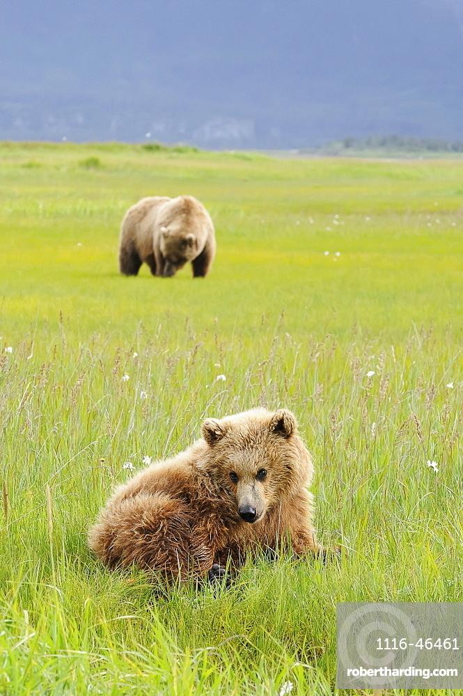 Brown Bear (Ursus Arctos) And Yearling Cub, Katmai National Park, Alaska, United States Of America