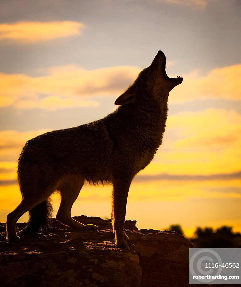 Coyote (Canis Latrans) Howling At Sunset, Triple D Ranch, California, United States Of America