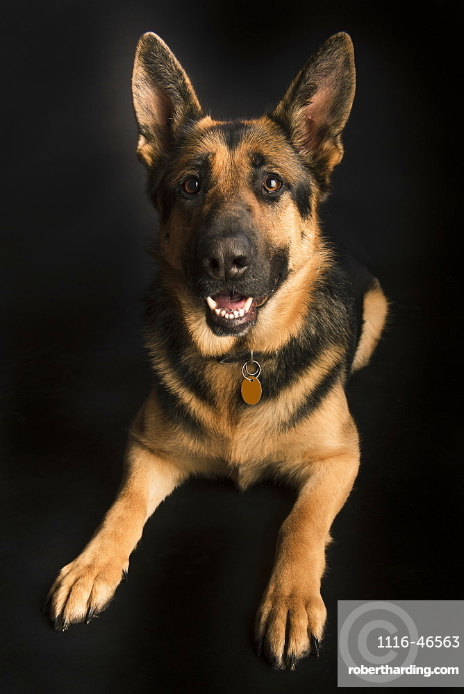 Portrait Of A German Shepherd On A Black Background, Spruce Grove, Alberta, Canada