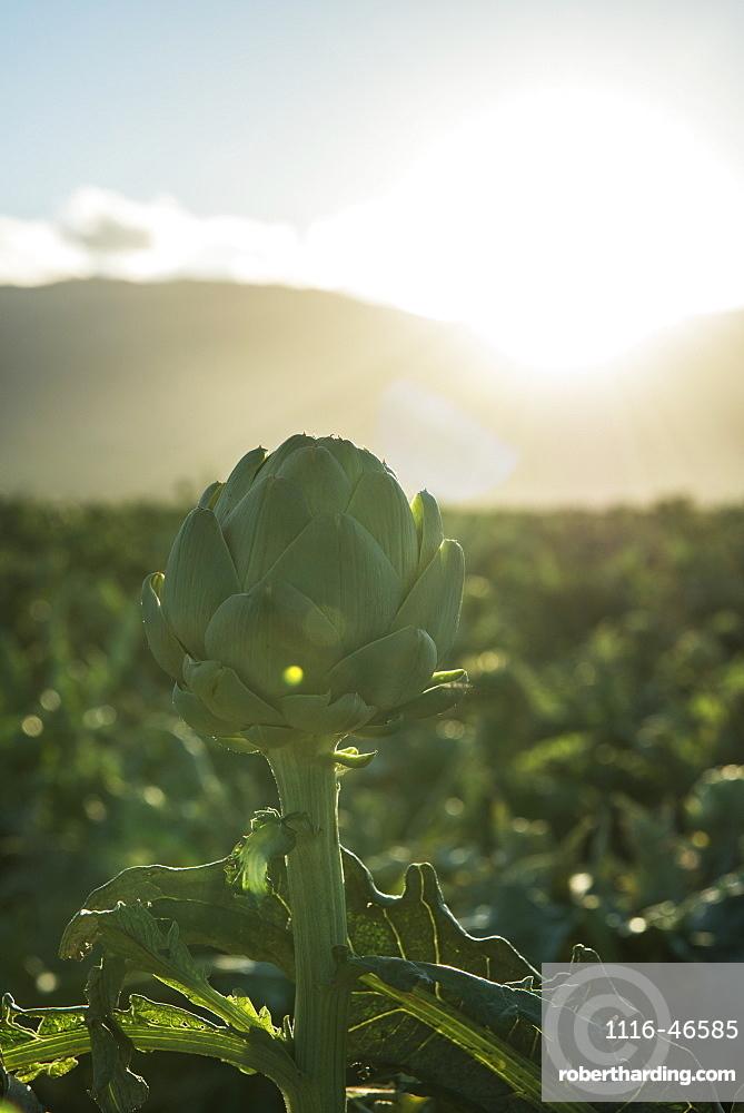 Artichoke In Field, Gonzales, California, United States Of America