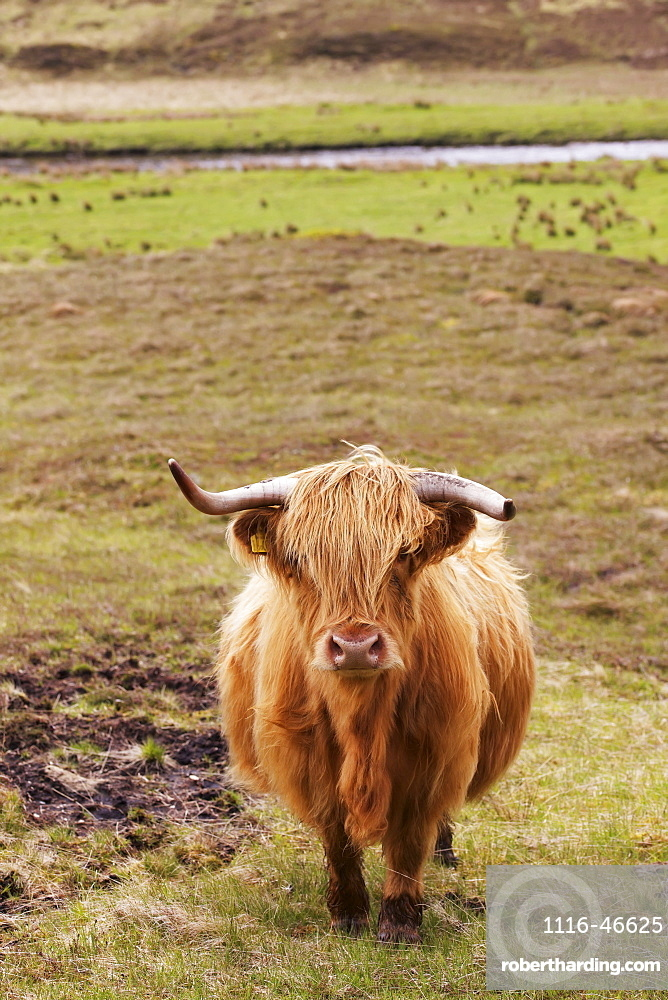 Scottish Highland Landscape With Long Horned Highland Cattle In Foreground
