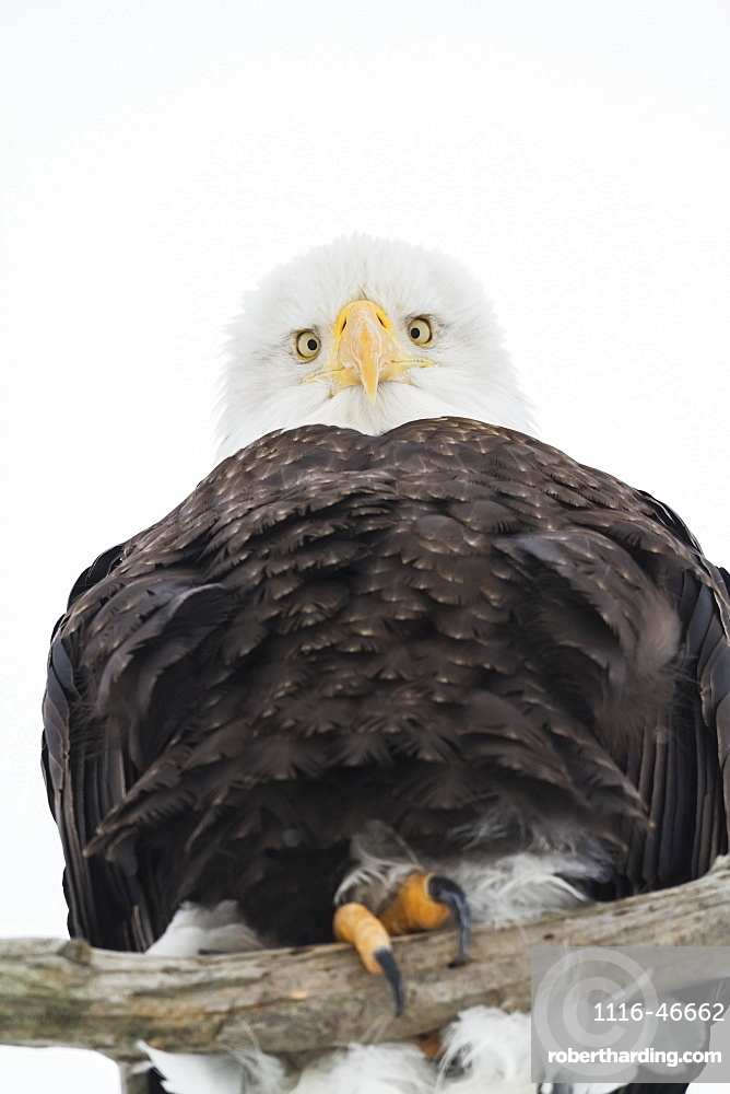 Adult Bald Eagle (Haliaeetus Leucocephalus) Looks Down From Its Perch At The Camera, Portage Area In South-Central Alaska, Alaska, United States Of America
