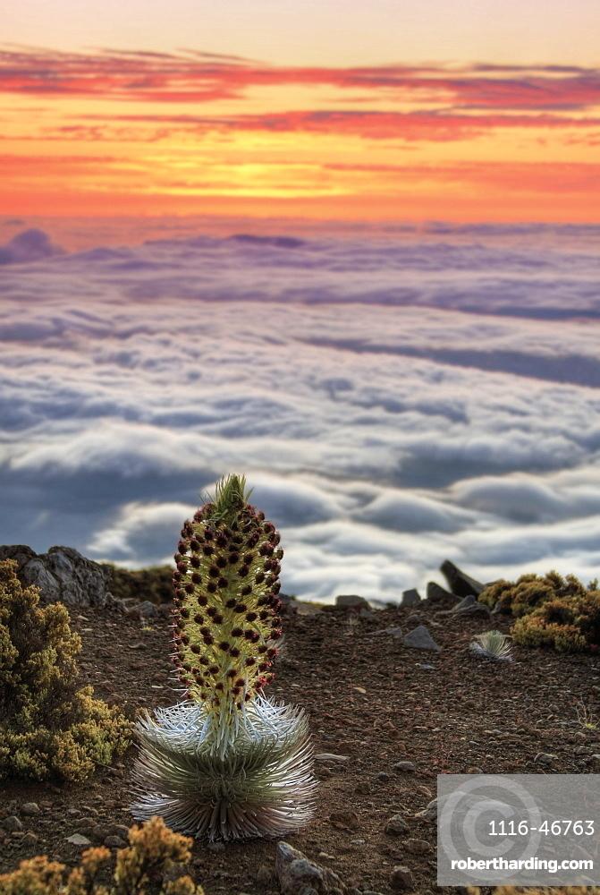 Silversword Plant (Argyroxiphium Sandwicense) At Sunset, Maui, Hawaii, United States Of America