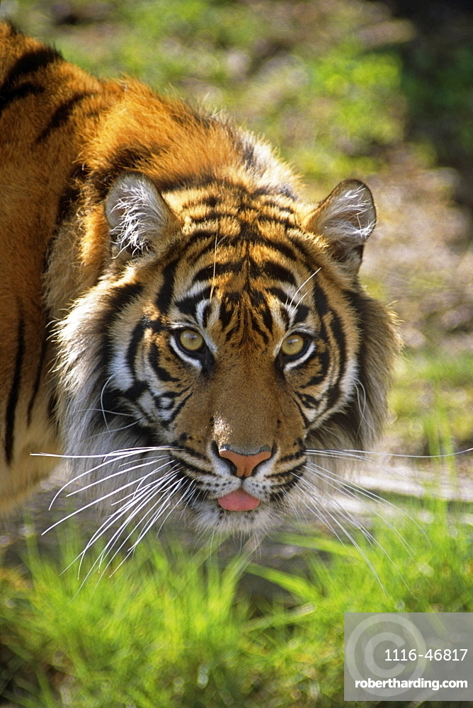 Close Up Of A Sumatran Tiger In A Zoo USA