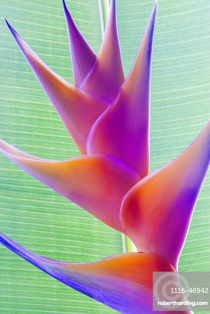 Close-up of a beautiful mixed pink Heliconia flower against a green leaf, Honolulu, Oahu, Hawaii, United States of America