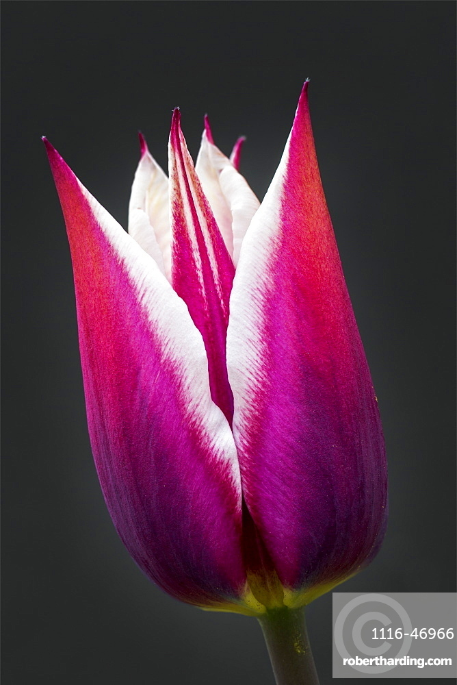 Close-Up Of Purple And White Tulip Head Against A Black Background, Calgary, Alberta, Canada