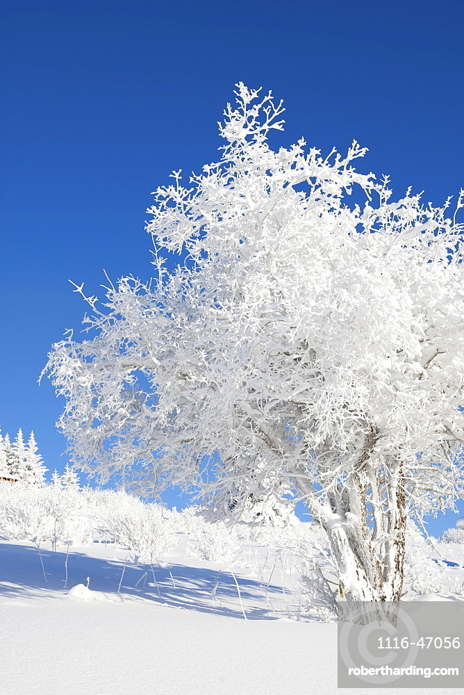 A Tree Covered In Hoarfrost With Snow On The Ground Against A Bright Blue Sky, Alaska, United States Of America