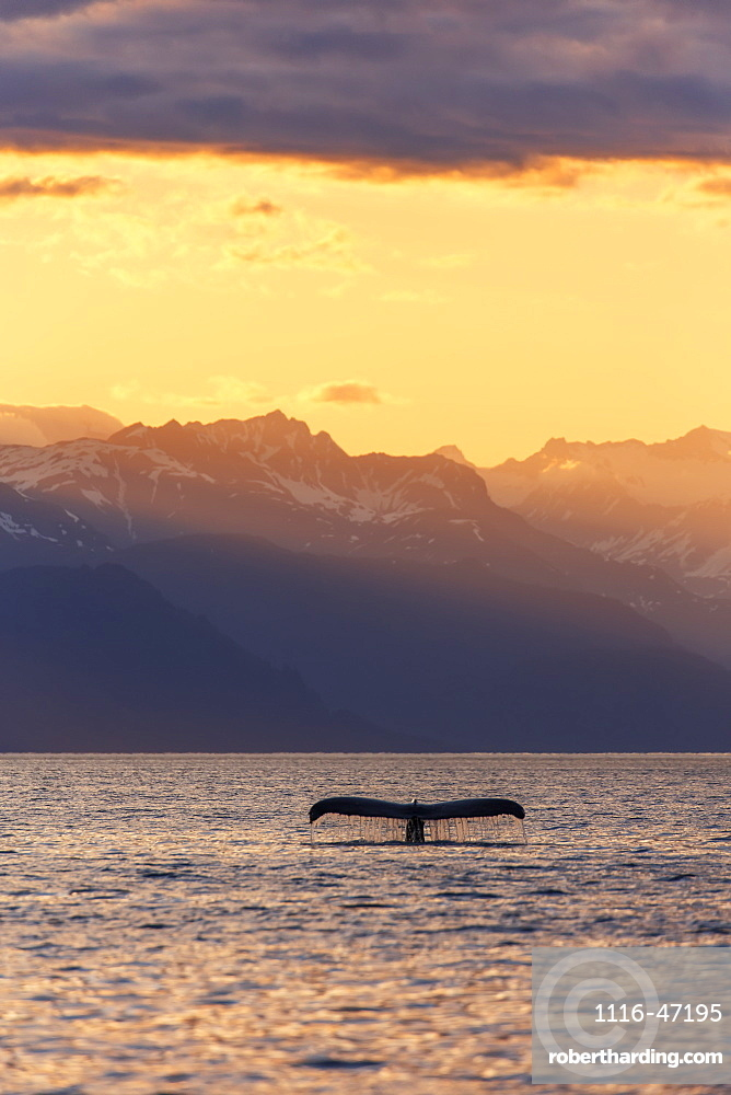 Fluke Of A Humpback Whale (Megaptera Novaeangliae) At Sunset, Lynn Canal, With The Chilkat Mountains In The Background, Near Juneau, Alaska, United States Of America