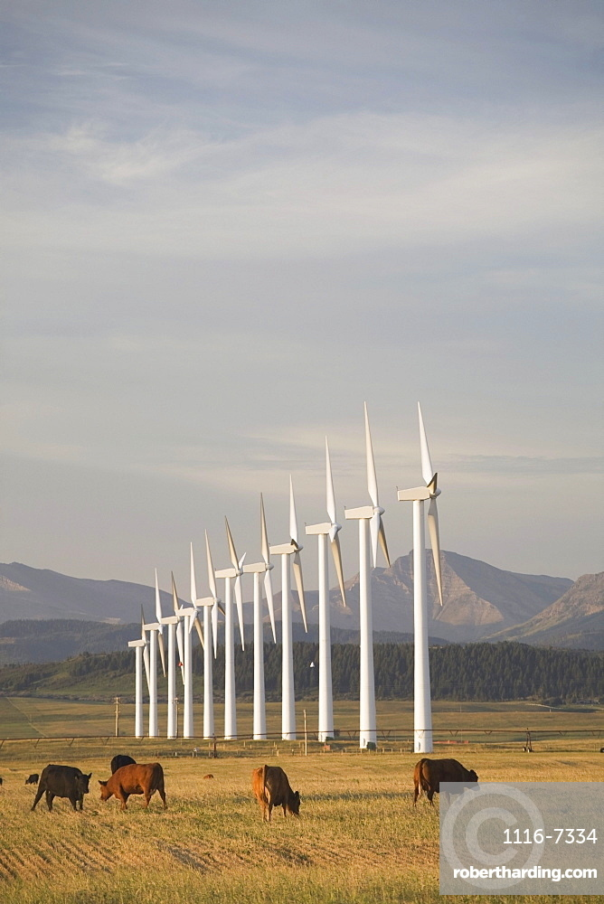 Pincher Creek, Alberta, Canada; Wind Turbines In A Row With Cattle In A Field And Mountains In The Background