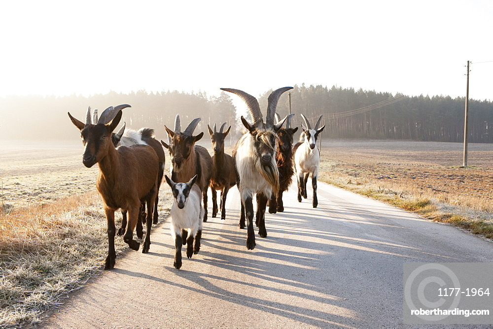 Goats running on rural road